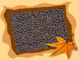 Senfkörner schwarz ganz